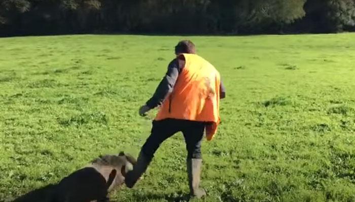 Un jabalí se venga de sus cazadores: se hace el muerto y los ataca cuando van a por su pieza
