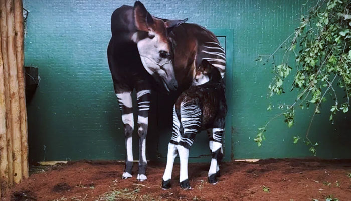 Nace un okapi en el zoo de Londres. Se consideran los mamíferos supervivientes más antiguos de la Tierra y están en peligro de extinción