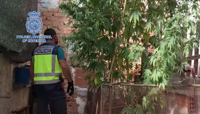 Detenida una pareja que cultivó una planta de marihuana que se convirtió en un árbol de 5 metros