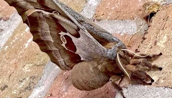 De película de terror: Una polilla gigante parecida a una tarántula con alas causa temor en EEUU