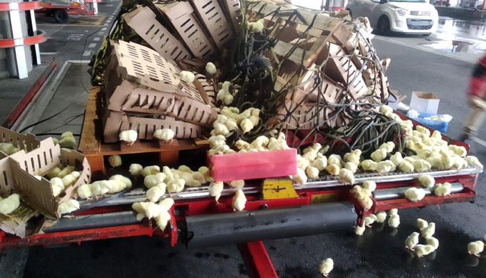 Lanzan un SOS por 20.000 pollitos al borde la muerte en Barajas