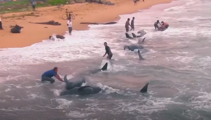 Rescatan a un centenar de ballenas que quedaron varadas en una playa de Sri Lanka