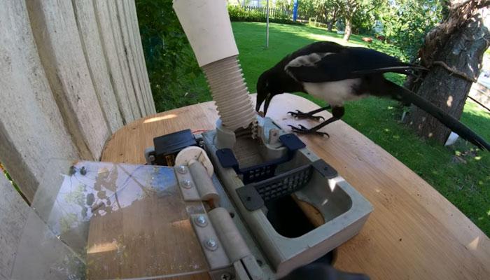 Esta urraca descubre que poniendo una chapa de una botella en una ranura de la máquina, el dispensador le da comida