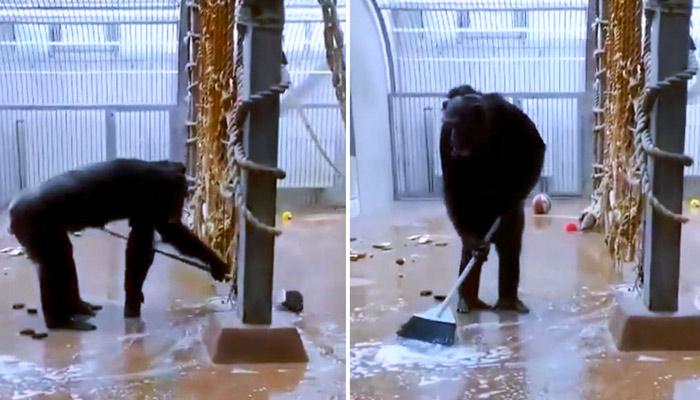 Un chimpancé encuentra una escoba y se pone a limpiar el suelo y las ventanas de su jaula