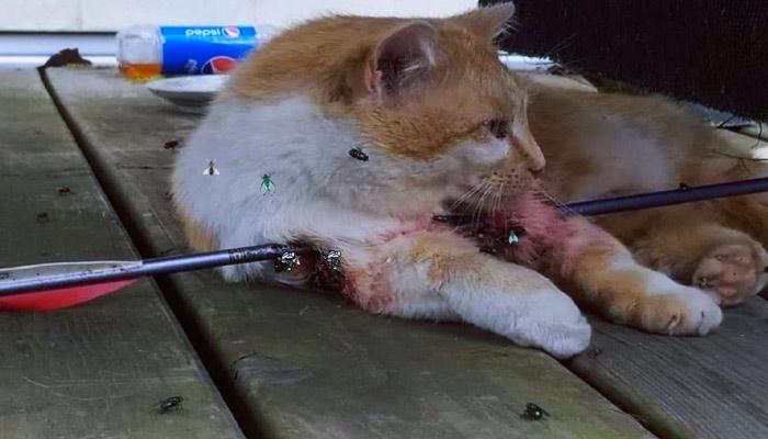 Rescatan a un gato abandonado que fue atravesado por una flecha de metal y lo curan