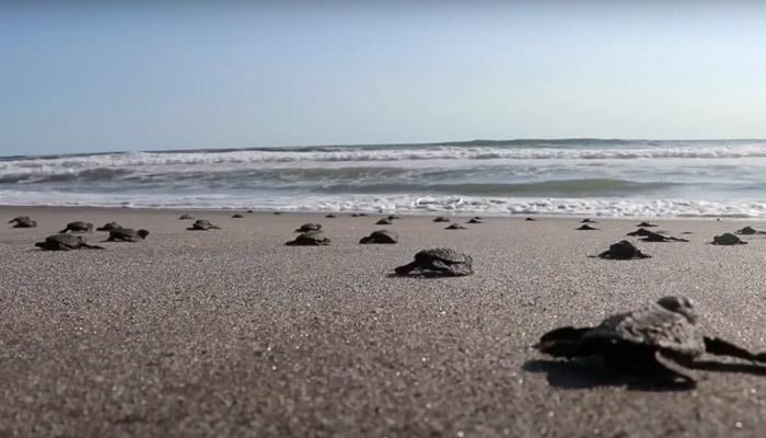 Liberan varios centenares de crías de tortuga en una playa de El Salvador