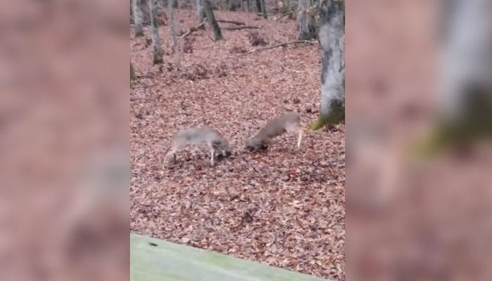 Un hombre graba una pelea entre dos ciervos en el patio trasero de su casa
