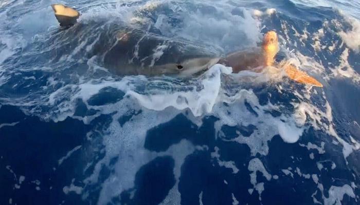 Unos pescadores salvan a una tortuga de las mandíbulas de un tiburón