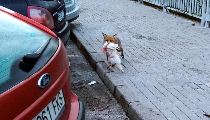 Un zorro se pasea con su presa, una gallina, por la zona urbana de Cangas de Onís