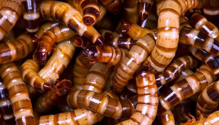 La Unión Europea declara por primera vez un insecto apto para el consumo humano
