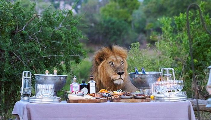 Captan el momento en que un león se une a una cena de unos turistas en un parque natural de África