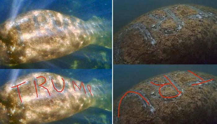 Investigan el ataque a un manatí al que tatuaron la palabra 'Trump' en el lomo