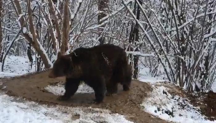 La triste historia tras el vídeo del oso ''atrapado'' en una jaula imaginaria tras 20 años en un zoo