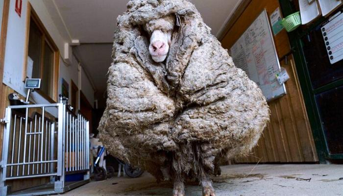 Esquilan a una oveja rescatada después de cinco años y obtienen un vellón de lana de 35 kilos