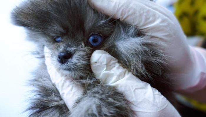 Encuentran animales enfermos a la venta y 18 cachorros en un congelador en la tienda Ladridos de Barcelona
