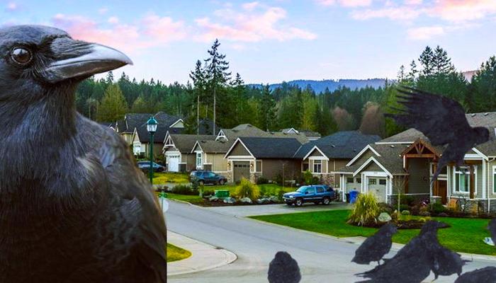 """Alimenta a los cuervos de su barrio y termina con un problemático """"ejército de pájaros guardaespaldas"""""""
