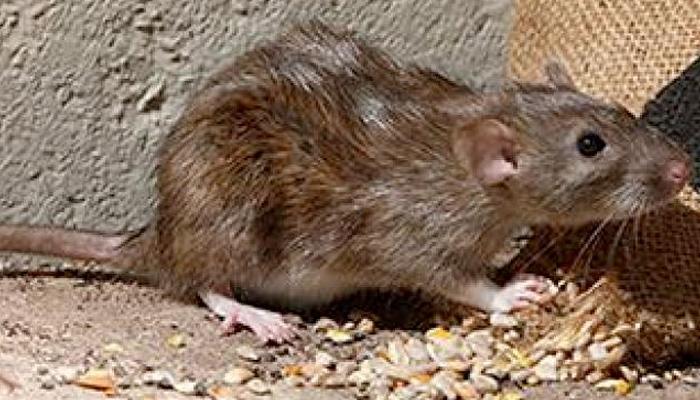 Detectan una gran cantidad de ratas negras trepadoras en árboles de Madrid y advierten que pueden atacar a humanos