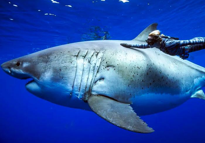 Ocean Ramsey se encuentra con un enorme tiburón blanco de 6 metros