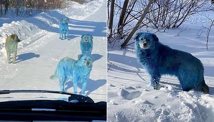 Varios perros callejeros se vuelven de color azul por la contaminación de los desechos químicos cerca de una fábrica rusa