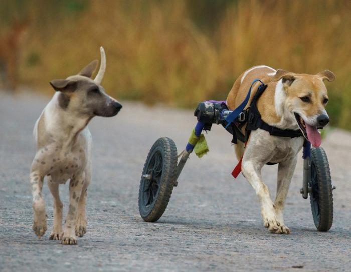 El refugio para perros en silla de ruedas de Chon Buri
