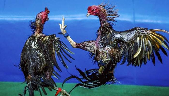El dueño quería saber si el gallo de pelea era bueno, pero no esperaba que fuera así de bueno...