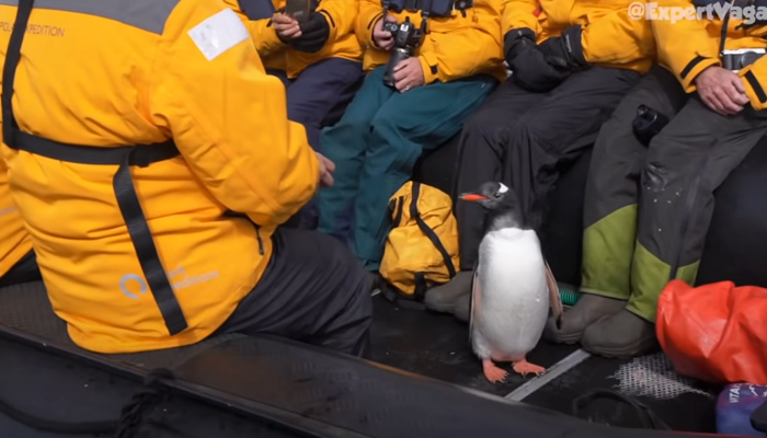 Un pingüino se salva de ser devorado por una orca saltando a un bote de unos turistas