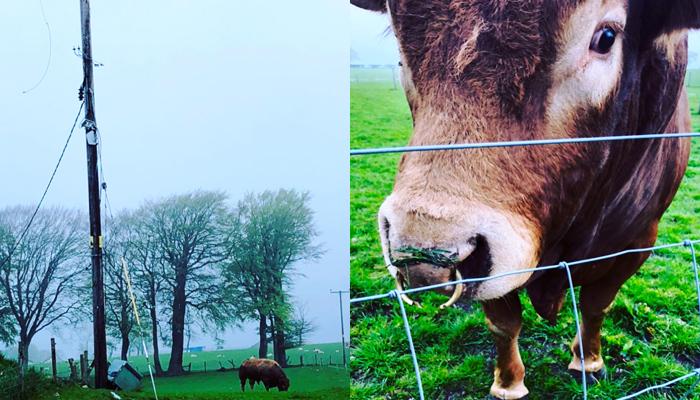 Un toro se rasca el culo con un poste eléctrico y deja sin luz a un pueblo entero