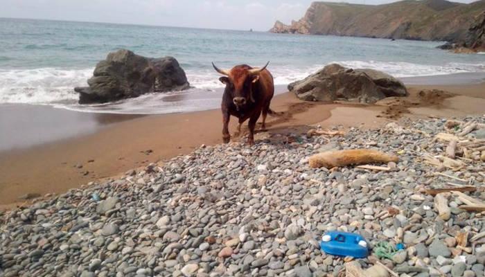 Rescate de un toro de más de 800 kilos que quedó atrapado en una playa asturiana tras caer por un acantilado