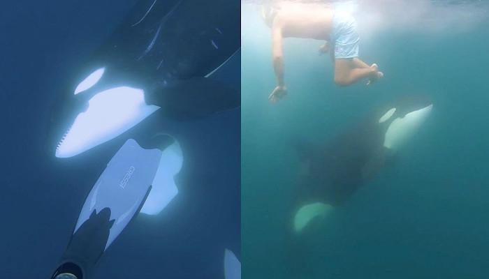 Un buceador tiene un encuentro con un grupo de orcas juguetonas y consigue grabarlo en vídeo