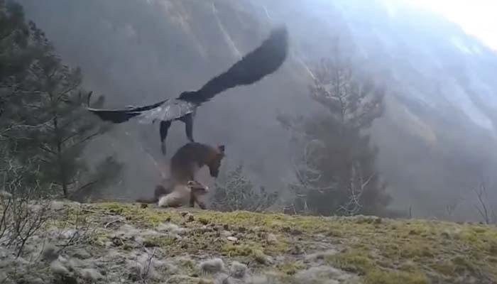 Momento en el que un águila real se lleva a un zorro