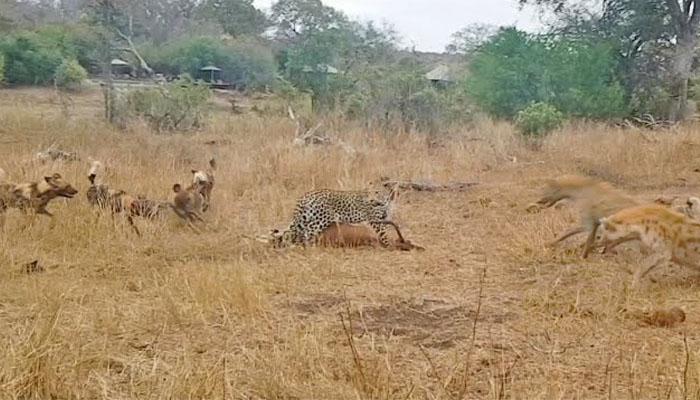Leopardo vs perros salvajes vs hienas