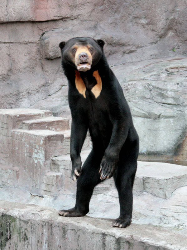 Un oso que parece un tío disfrazado de oso