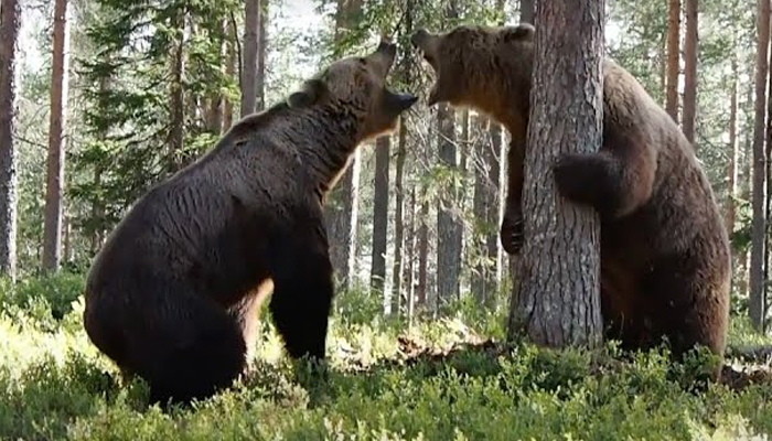 Graban desde tres ángulos una intensa pelea entre dos osos pardos