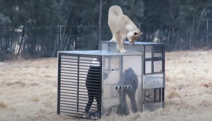 El ''zoológico inverso'': Encierran a los visitantes en una jaula y los leones los rodean